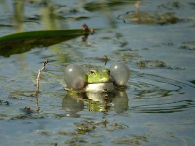 marsh-frog